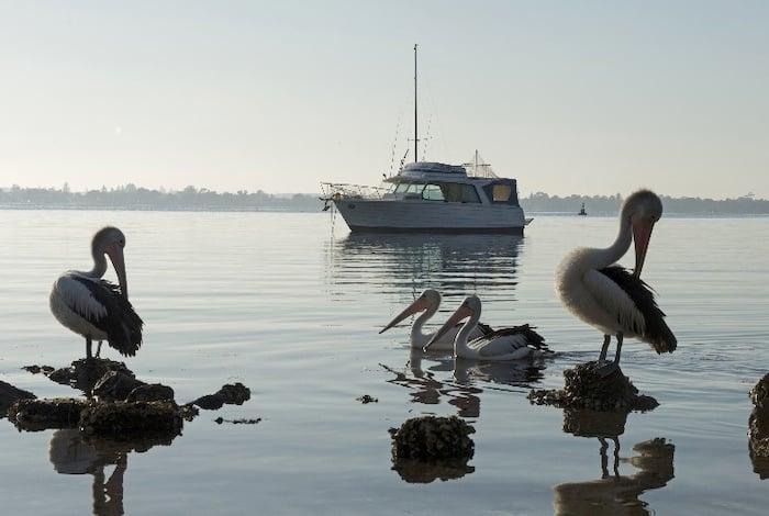 Pelicans rest in Wangi Wangi, Lake Macquarie