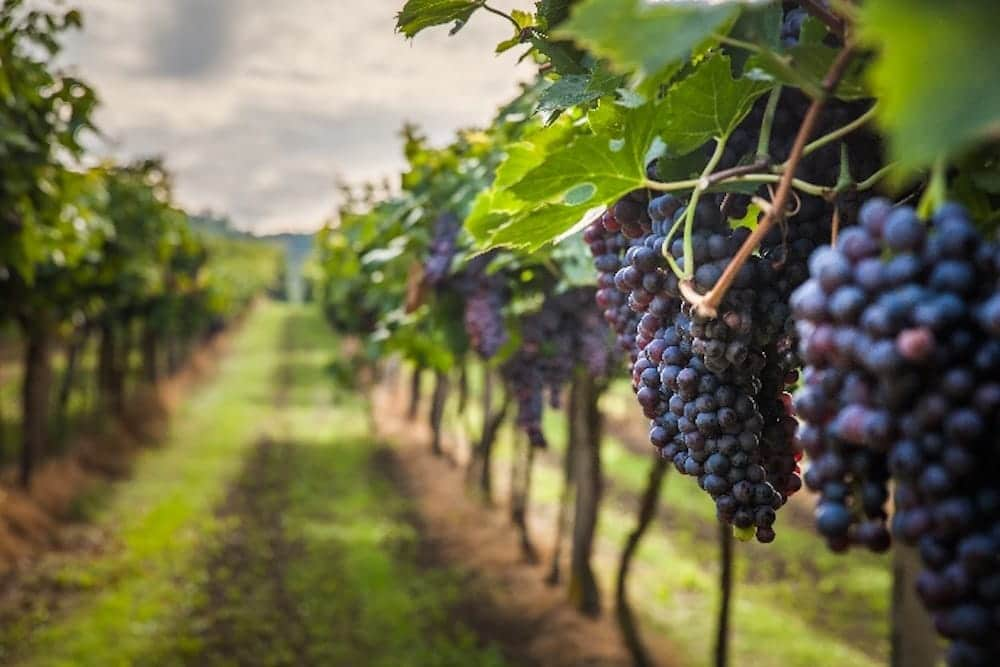 Harvest season in the Hunter Valley wine country