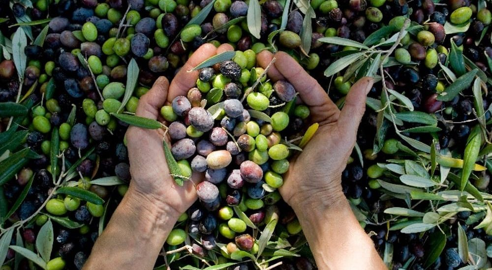Freshly picked olives at Pukara Estate